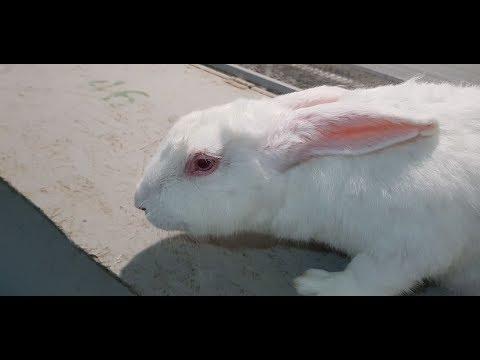 Лечение конъюнктивита у кроликов