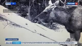 Дикие животные, которые лакомятся солью попали на видео в Кузбассе