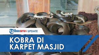 Video 31 Ekor Anak Ular Kobra Ditemukan di Lipatan Karpet Masjid di Sukoharjo, Ini Pengakuan Takmir