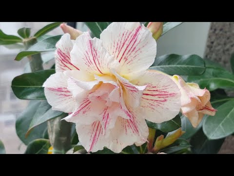 Сказочное цветение Адениумов! Эйфель дозрел, Фрол разошелся.. Весна! ;))