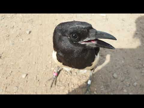 Misha Uk the magpie is learning bad words.