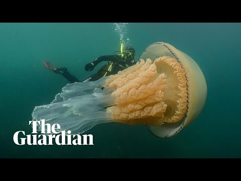 Jellyfish as big as a human spotted off Cornwall coast