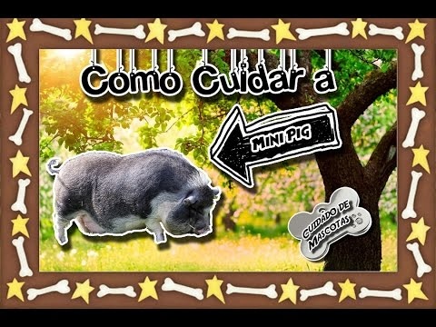 Mini Pig |El puerco mascota para tu casa| (Animales domésticos) |Cuidados de mascotas|
