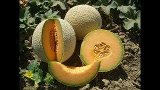 How to Grow Backyard Cantaloupes