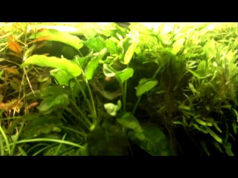 Difesa uova Microgeophagus ramirezi