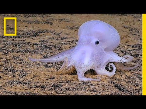 Ghostlike Octopus Found Lurking Deep Below the Sea | National Geographic thumbnail