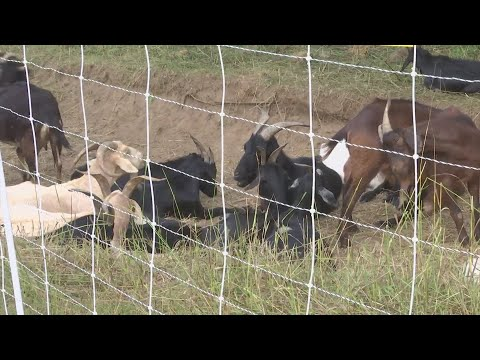 Beloit business hires goats to do some landscaping