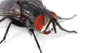 THE LIFE OF A PARASITOID FLY