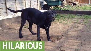 Dog just can't figure out how to bury toy