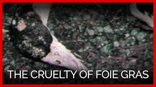 Ducks Cruelly Force-Fed for Foie Gras