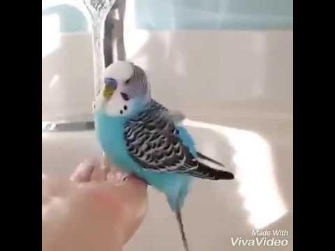 Oyuncu Muhabbet Kuşları
