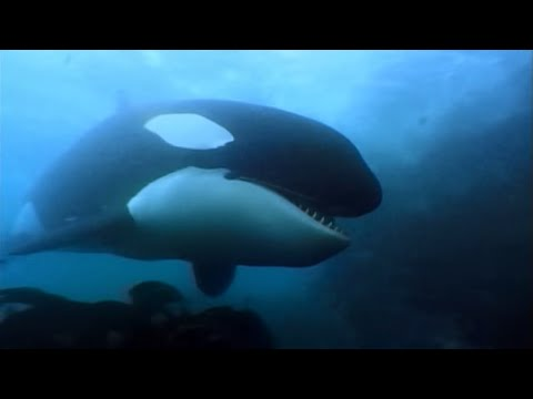 A Man Among Orcas (2006) - A man spends time documenting the behaviors and growing friendly with orcas, elephant seals, and king pengiuns alone on the Crozet Islands.