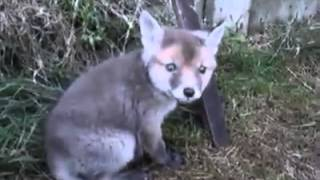 Watch what happens when a man frees a fox cub from a tin can