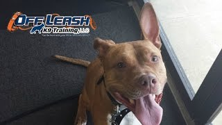 "Nervous Aggression | 2 Year Old Pit Bull ""Beamer"" Before/After Video 