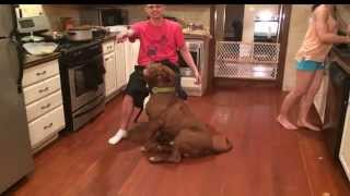 """THE BIGGEST XXL BULLY PITBULL IN THE WORLD 9 MONTHS OLD THE LEGENDARY """"HULK"""""""