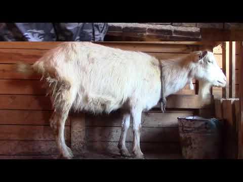 Milchproduktion in Lagowschina