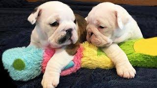 Смешные собаки Приколы про собак Funny Dogs 2019 (Лютые шриколы)