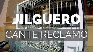 Jilguero Raza,canto Del Jilguero Perfecto #JILGUERO#SONIDO
