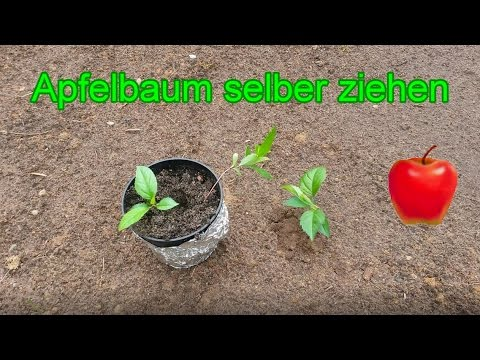 Apfelbaum aus Kern selber ziehen –  Samen vom Apfel richtig einpflanzen - ANLEITUNG