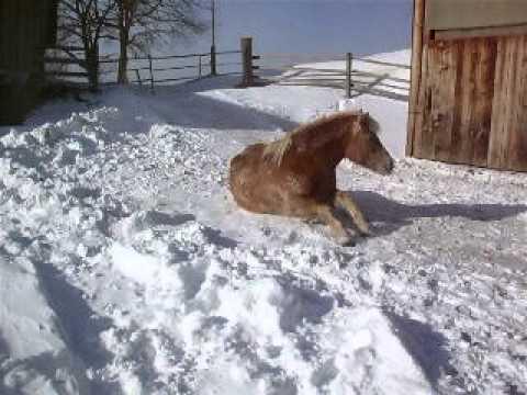 Haflinger Micky im Schnee
