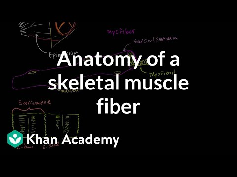 Anatomy of a skeletal muscle fiber (video) | Khan Academy