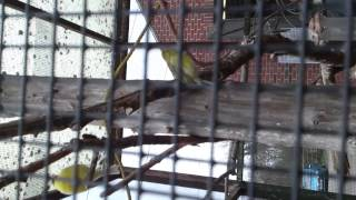 preview picture of video 'Canary at Deen City Farm'