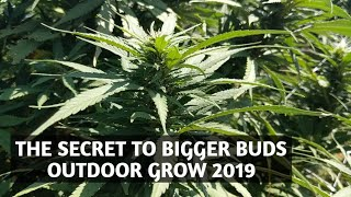 Outdoor Grow Bigger Buds Flower Nutrient Secrets for Week 3 and 4
