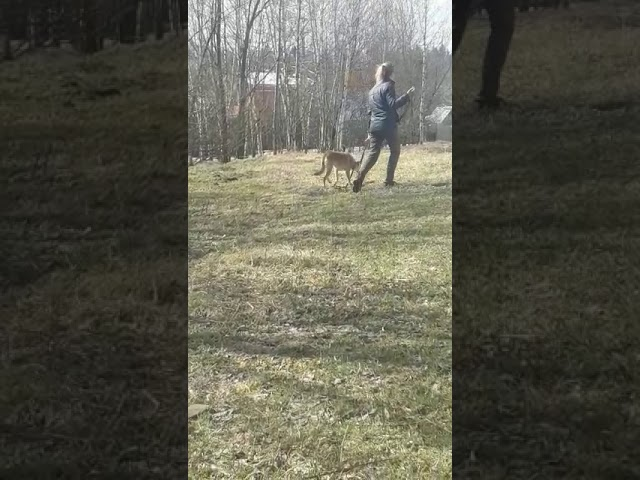 Собака Лана в ответственные руки