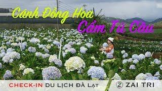 Cánh đồng Hoa Cẩm Tú Cầu Tuyệt đẹp ở Đà Lạt | Du Lich Dalat 2017 - 2018 Khám Phá Vườn Hoa | ZaiTri