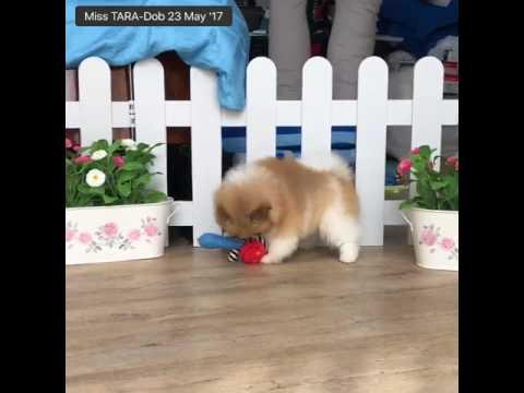 Video of AKC - miss TARA majesty puppies