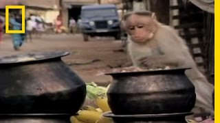 Spunky Monkeys | National Geographic thumbnail
