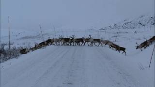 Reindeer Crossing - Bygdin - Norway