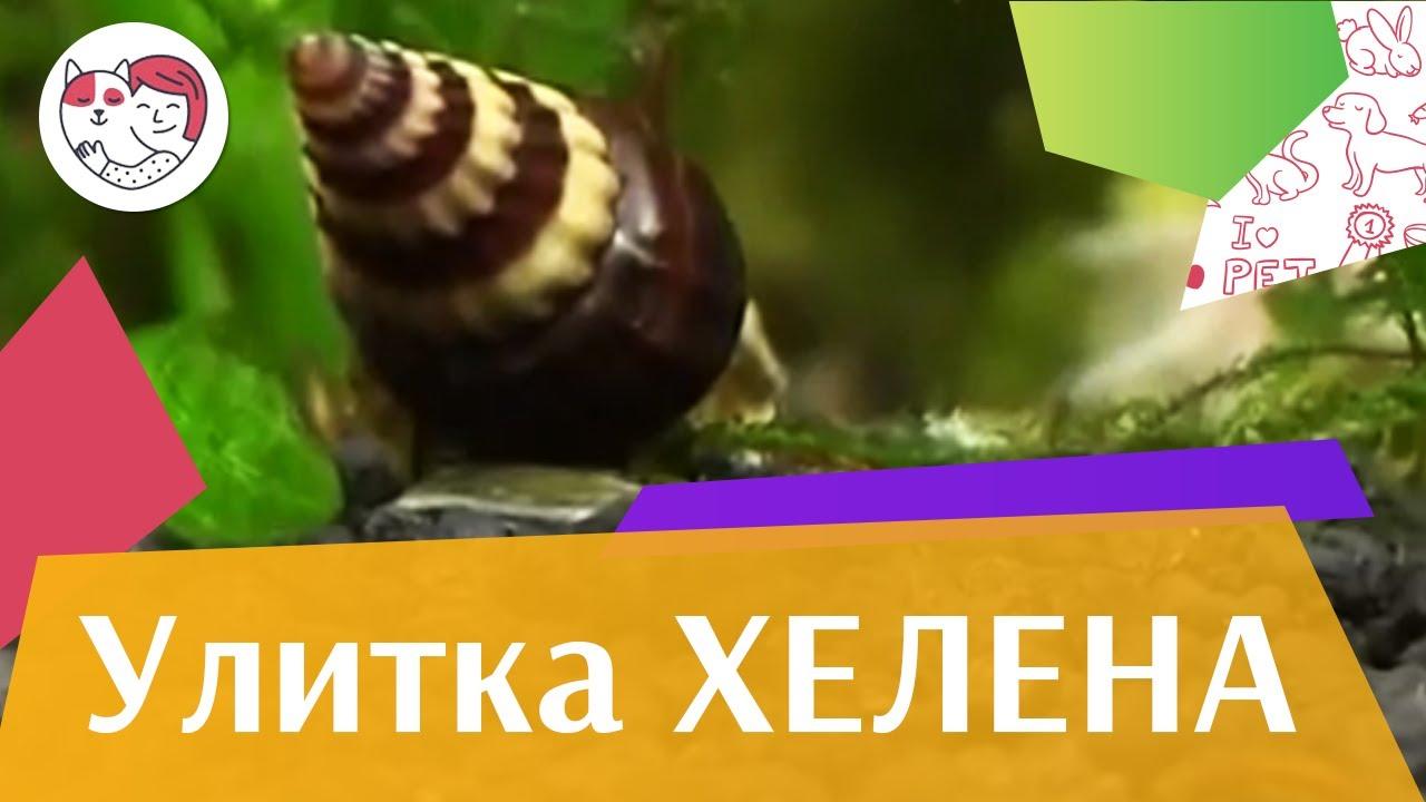 Улитка хелена Совместимость с обитателями аквариума на ilikepet