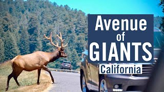 Avenue of Giants - The Historic Redwood Forest Highway in California