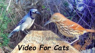 Blue Jays and Brown Thrashers - Backyard Birds!