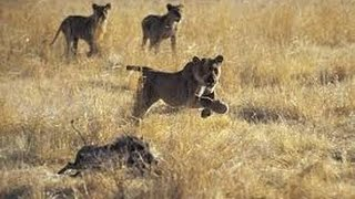 Animal Documentary National Geographic  KILLER FORCES OF TOP PREDATORS HD 2016