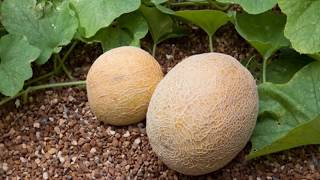 HOW TO GROW CANTALOUPE AT HOME