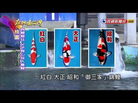 2017.11.19【在地真台灣】父子興趣玩出頭 養出身價500萬大正三色錦鯉