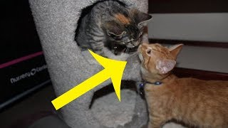 This Rescue Kitten Was Constantly Crying. Then His Owner Realized He Was Trying To Say Something