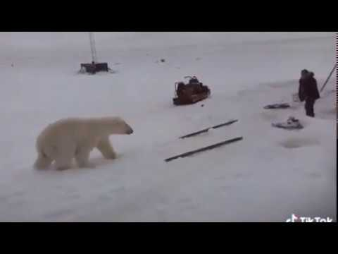 A guy fighting polar bears in the north of Quebec