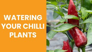 How to water your chilli plants