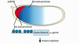 Embryology - Egg Polarity Gene