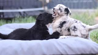 Australian Shepherd Puppies / 5 Weeks old