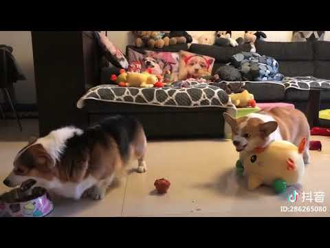 Chubby Corgis Fighting
