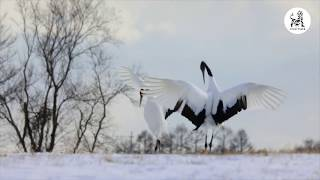 DANCE BY RED CROWNED CRANES OF JAPAN | Gypsy Tiger