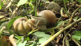 preview picture of video 'Polžja erotika / Snail Erotica'