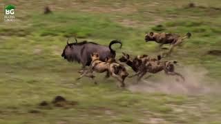 Yabani Köpeklerin Antilop Avı !