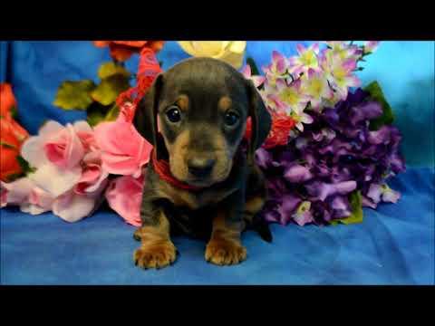 Caleb AKC Male Blue Tan SH Miniature Dachshund puppy for sale!