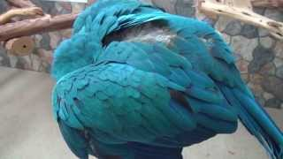 Parrot Plays Peekaboo - Rachel Blue & Gold Macaw