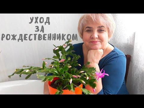 УХОД ЗА РОЖДЕСТВЕННИКОМ. Мои цветы. Мой опыт.